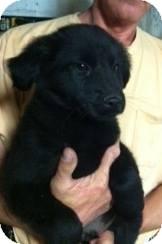 Shepherd (Unknown Type)/Labrador Retriever Mix Puppy for adoption in Kimberton, Pennsylvania - Jaysen