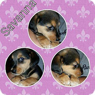 Labrador Retriever/Beagle Mix Puppy for adoption in Racine, Wisconsin - Savanna