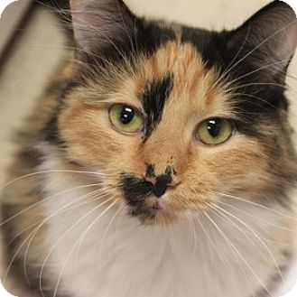Domestic Mediumhair Cat for adoption in Naperville, Illinois - Florentina