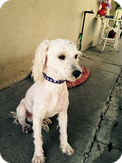 Goldendoodle Mix Dog for adoption in Thousand Oaks, California - Cody