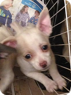 Chihuahua/Terrier (Unknown Type, Small) Mix Puppy for adoption in Ogden, Utah - Akela