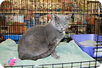 Domestic Shorthair Cat for adoption in Rochester, Minnesota - Sophie