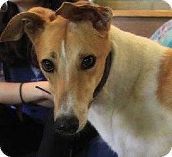 Greyhound Dog for adoption in West Palm Beach, Florida - Cotton