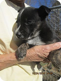 Manchester Terrier/Australian Cattle Dog Mix Puppy for adoption in Rutherfordton, North Carolina - Yuma