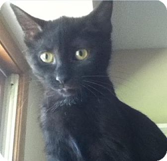 Domestic Shorthair Kitten for adoption in Des Moines, Iowa - Crystal