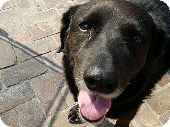 Golden Retriever Mix Dog for adoption in Denver, Colorado - Nikki