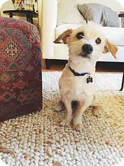 Wirehaired Fox Terrier Mix Dog for adoption in Studio City, California - Oliver