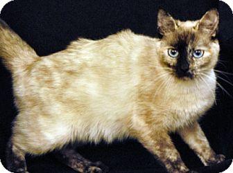 Siamese Cat for adoption in Newland, North Carolina - Pepper