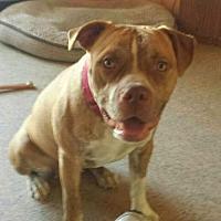 American Staffordshire Terrier/American Bulldog Mix Dog for adoption in Dana Point, California - Kayla