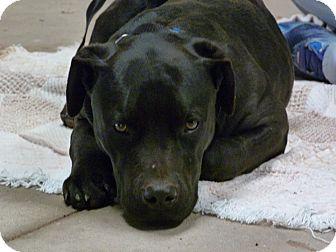 Pit Bull Terrier/Labrador Retriever Mix Puppy for adoption in Newcastle, Oklahoma - Topanga