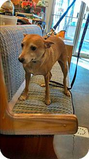 Feist/Terrier (Unknown Type, Medium) Mix Dog for adoption in Woodbridge, Virginia - Max