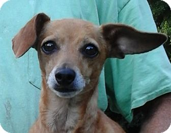 Chihuahua/Dachshund Mix Dog for adoption in Colonial Heights, Virginia - Viola