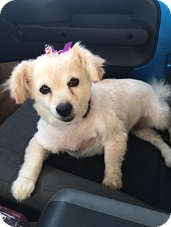 Terrier (Unknown Type, Small)/Pomeranian Mix Dog for adoption in Las Vegas, Nevada - Sonya bonded with Ella