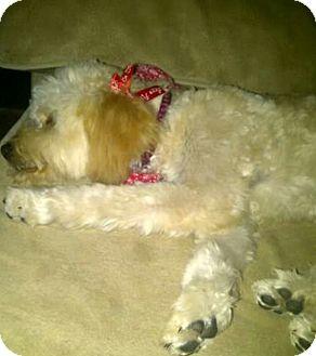 Maltese Mix Dog for adoption in Lavernia, Texas - Gidget (Girl Midget)
