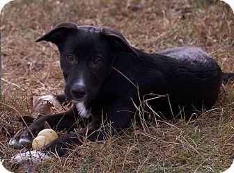 Border Collie/Australian Cattle Dog Mix Dog for adoption in Hagerstown, Maryland - samuel -$100