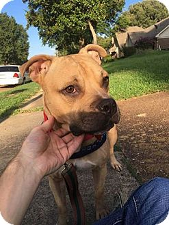 American Pit Bull Terrier/American Staffordshire Terrier Mix Dog for adoption in Covington, Tennessee - Scooby