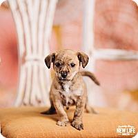 Adopt A Pet :: PeeWee - Portland, OR
