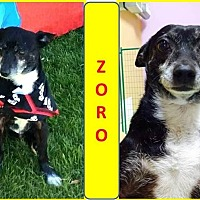 Chihuahua/Terrier (Unknown Type, Small) Mix Dog for adoption in Palm Desert, California - Zoro