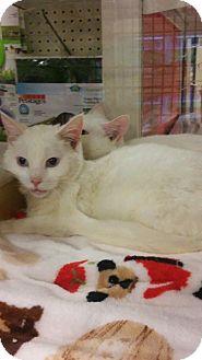 Domestic Shorthair Cat for adoption in Mesa, Arizona - ASPEN