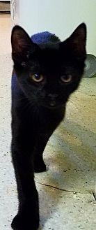 Domestic Shorthair Kitten for adoption in Port Clinton, Ohio - Winnie
