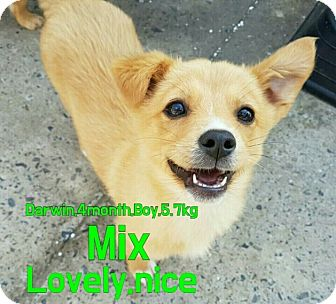 Shiba Inu/Jindo Mix Puppy for adoption in LONG ISLAND CITY, New York - Darwin