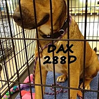 Adopt A Pet :: Dax - Spring, TX