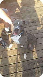 Pit Bull Terrier Mix Dog for adoption in Rockford, Illinois - Murphy