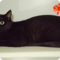 Domestic Shorthair Cat for adoption in Sandusky, Ohio - LENNA MAE