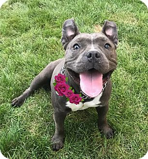 French Bulldog/Terrier (Unknown Type, Medium) Mix Dog for adoption in Cranford, New Jersey - Nina