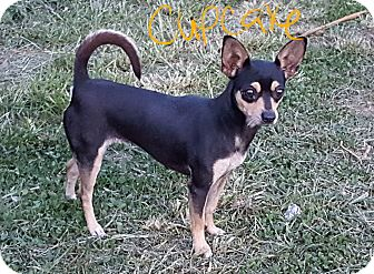 Chihuahua Mix Dog for adoption in Niagra Falls, New York - Cupcake