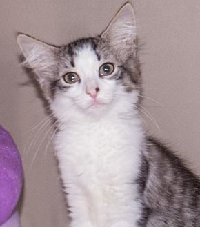 Domestic Shorthair Kitten for adoption in Elmwood Park, New Jersey - cuteeight