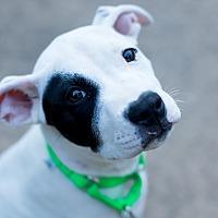 Adopt A Pet :: 2Buck - Des Peres, MO