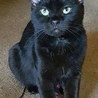 Adopt A Pet :: Catarina -- $75 - FOREVER KITTEN - Hillside, IL