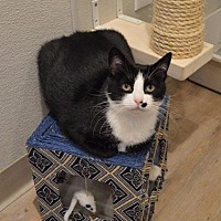 Adopt A Pet :: Addison - St. Charles, MO