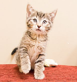 Domestic Shorthair Kitten for adoption in Chicago, Illinois - Misaki