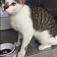 Adopt A Pet :: Nick - Comanche, TX