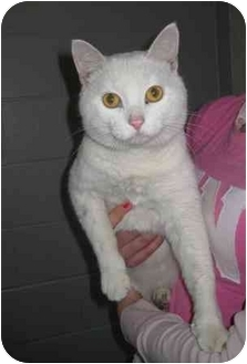 Domestic Shorthair Cat for adoption in Florence, Indiana - Wallie