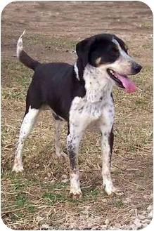 Hound (Unknown Type)/Australian Shepherd Mix Dog for adoption in Sullivan, Missouri - Buddy