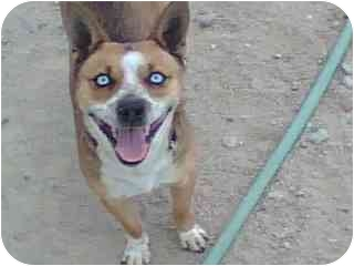 Basenji Mix Dog for adoption in Thatcher, Arizona - Dreamer