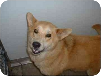 Shepherd (Unknown Type)/Akita Mix Dog for adoption in Franklin, Indiana - Meesha