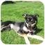 Photo 2 - Shiba Inu/Alaskan Malamute Mix Dog for adoption in Hartford, Connecticut - Diamond