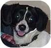 Papillon/Terrier (Unknown Type, Small) Mix Dog for adoption in Hamilton, Ontario - Gir