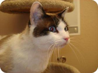 Siamese Cat for adoption in Flower Mound, Texas - Bonsai