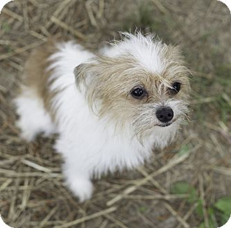 Chihuahua/Shih Tzu Mix Dog for adoption in Murphysboro, Illinois - Hannah