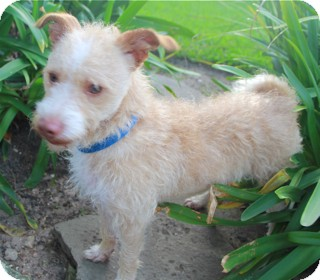 Terrier (Unknown Type, Small)/Wirehaired Fox Terrier Mix Dog for adoption in Norwalk, Connecticut - Larkin
