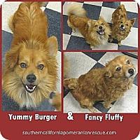 Pomeranian Dog for adoption in Studio City, California - Yummy and Fancy