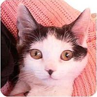 Adopt A Pet :: Violet - Putnam Valley, NY