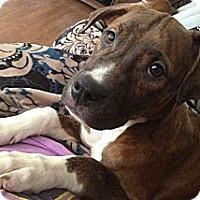Adopt A Pet :: Daphne - Reisterstown, MD