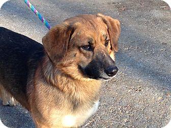 Basset Hound Mix Dog for adoption in Hagerstown, Maryland - Stoney
