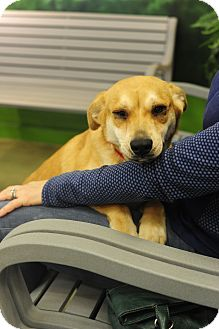 Labrador Retriever Mix Dog for adoption in Nashville, Tennessee - Avery